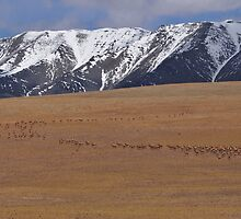 Migrating Tibetan antelopes by liutong
