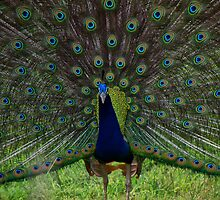 Peacock - During a mating display by Biren Brahmbhatt