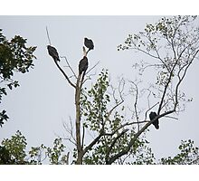 Turkey Vulture - Cathartes aura Photographic Print
