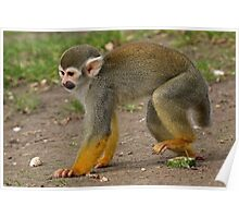 The Squirrel Monkey Stomp Poster