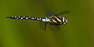 Migrant Hawker by Neil Bygrave (NATURELENS)