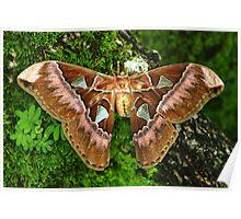 Giant Silk Moth (Rothschildia aurota speculifera) - Bolivia Poster