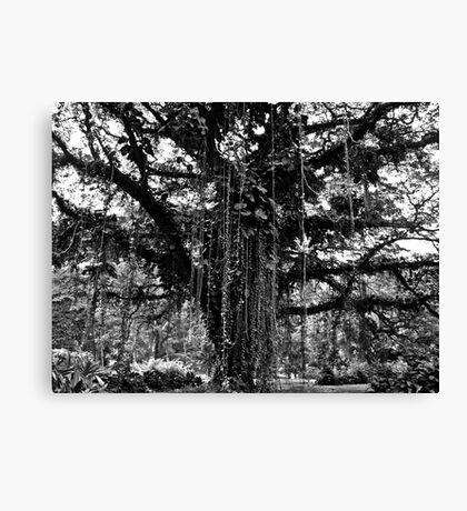 Cameroon Tree Canvas Print