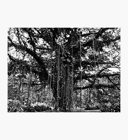 Cameroon Tree Photographic Print