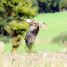 Red Kite Number 13 - unlucky for some!! by frank66