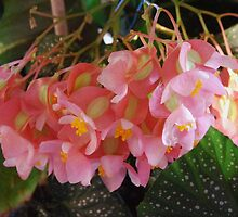 Millie's Angel Leaf Begonia by Marjorie Wallace