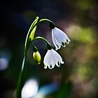 Snow bells in Spring! by Normf