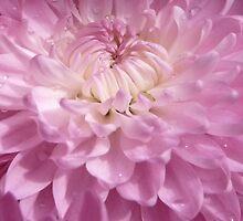 Soft Pink by Carla Jensen