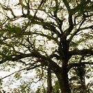 Tree 2- St.Kitts, Eastern Caribbean by Jenny Hambleton