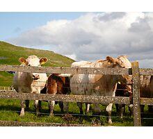 Cows Of Ireland - Ireland Photographic Print
