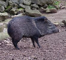 Collared Peccary by DEB VINCENT