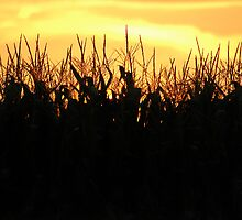 Cornfield Evenings  by Marcelle Raphael
