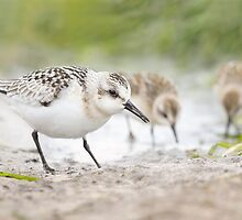 Sanderling and Friends. by Daniel Cadieux