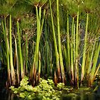 Papyrus Pond by olga zamora