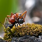 Ant Wars by David Friederich
