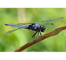 Slaty Skimmer closeup Photographic Print