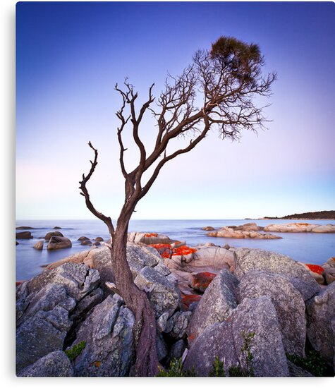 Binalong Bay Tree, Binalong Bay, Tasmania by Matthew Stewart