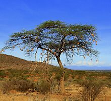 Africa Continues - Acacia Tree by Sally Haldane