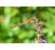 Ruby Meadowhawk Photographic Print