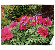 A honey of a garden with luscious Peonies Poster