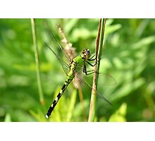 Eastern Pondhawk female Photographic Print