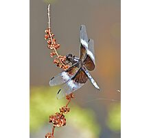 Widow Skimmer Male Photographic Print