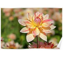 Pink and Yellow striped Dahlia Flower. Poster