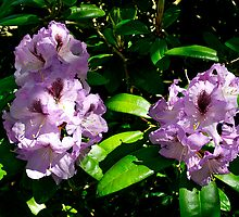 Rhododendron, Dunedin Botanical Gardens, NZ. by johnrf
