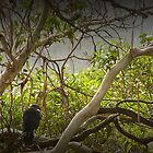 Tasmanian Currawongs by Josie Jackson