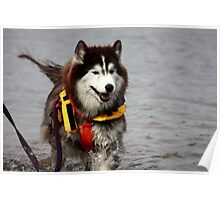 Bear. A 3 legged search and rescue dog Poster