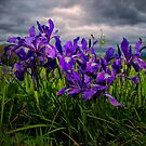 Wild Iris ~ Finley Refuge Wildflowers ~ by Charles &amp; Patricia   Harkins ~ Picture Oregon