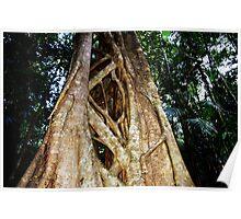 Tree Coffs Harbour Rainforrest Poster