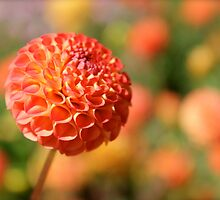 Orange Pumpkin colored Dahlia. by Kerry McQuaid