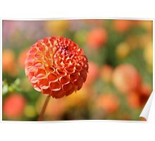Orange Pumpkin colored Dahlia. Poster