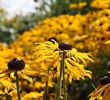 Rudbeckia Bokeh by Astrid Ewing Photography