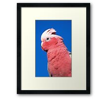 Hello Cocky ! Framed Print