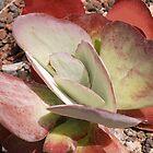 Succulent Plant by Vac1