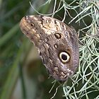 Giant Owl Butterfly (Caligo memnon) - Resting on Spanish moss by Patrick England