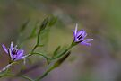 Twining Fringe Lily (Thysanotus patersonii) by Elaine Teague