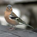 Chaffinch by Patrick England
