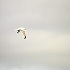 Seagull (Herring gull) in the clouds by Patrick England