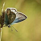 Male chalk-hill Blue Butterfly by fotozo