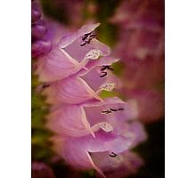 False dragonhead flowers Photographic Print