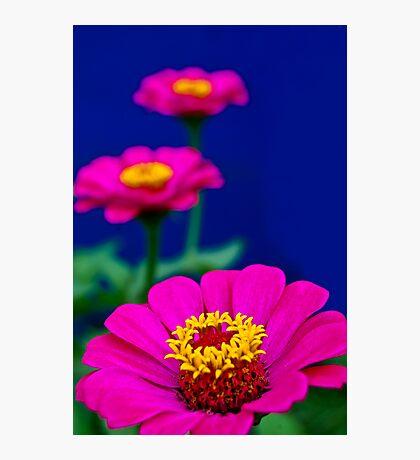 Pink Zinnia Photographic Print