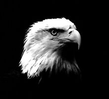 Black & White American Bald Eagle by madeinatlantis