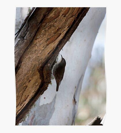 White-throated tree creeper Poster