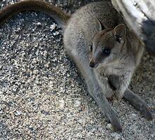 Mareeba Rock Wallaby by triciaoshea