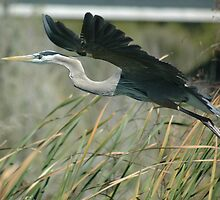 Heron in flight by Margaret  Shark