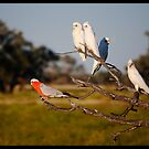 Birds Of The Outback!  by Anna Ryan