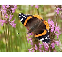 Red Admiral Wings Spread Photographic Print
